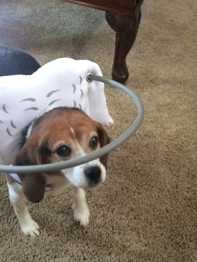 how to make a blind dog halo